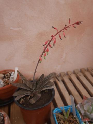 Gasteria bicolor [identification] P1010312