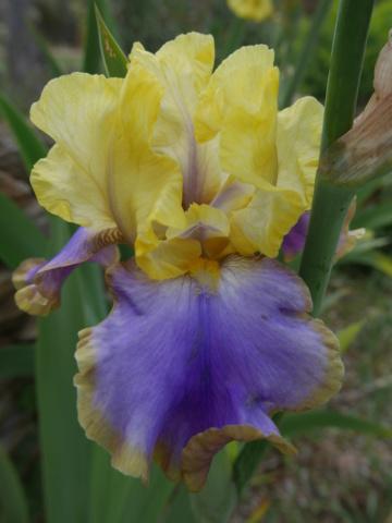 Iris 'Tumultueux' - Cayeux 1995 P1010414