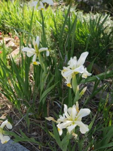 Iris orientalis (= Iris spuria ssp. ochroleuca) - Page 2 P1010519