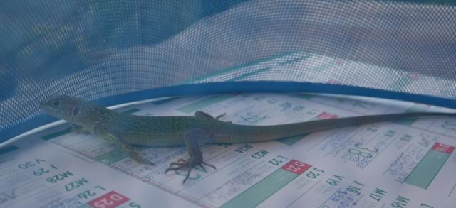lézards et autres reptiles - Page 7 P1010710