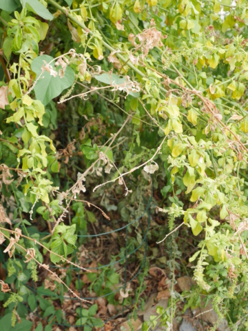 Plumbago capensis = Plumbago auriculata - dentelaire du Cap - Page 4 P1010722