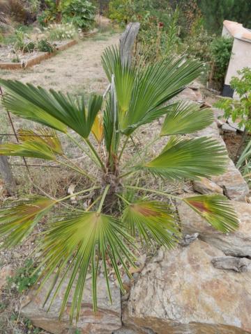 Trachycarpus fortunei 'Wagnerianus' P1010723