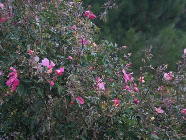 Rosa chinensis mutabilis - Page 2 P1010910
