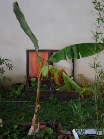 Ensete ventricosa maurelli - bananier rouge P1010923