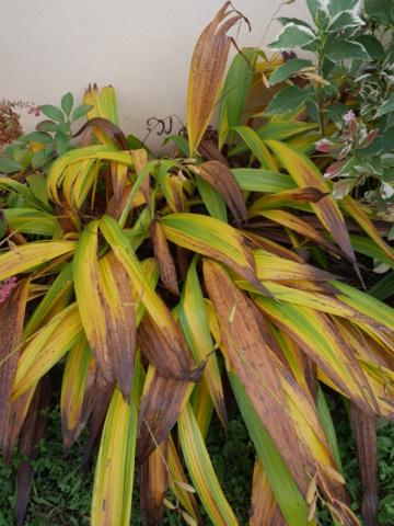 Bletilla striata - orchidée du Japon - Page 5 P1020011
