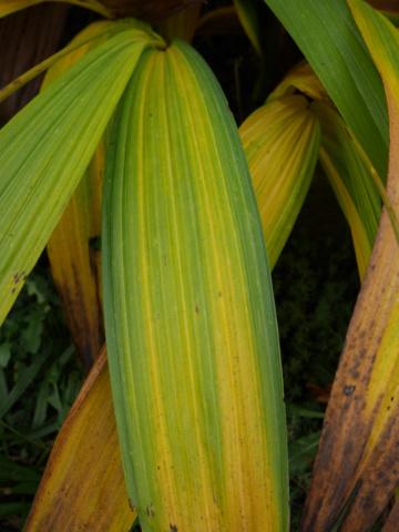 Bletilla striata - orchidée du Japon - Page 5 P1020012