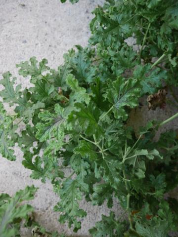 Pelargonium quercifolium P1020013