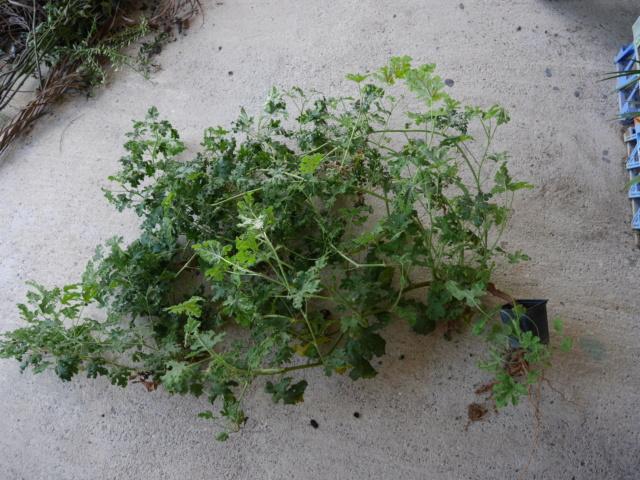 Pelargonium quercifolium P1020014