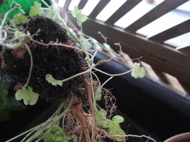 Pelargonium quercifolium P1020015