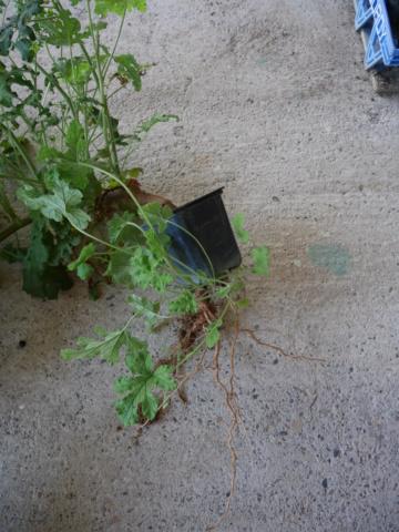 Pelargonium quercifolium P1020016