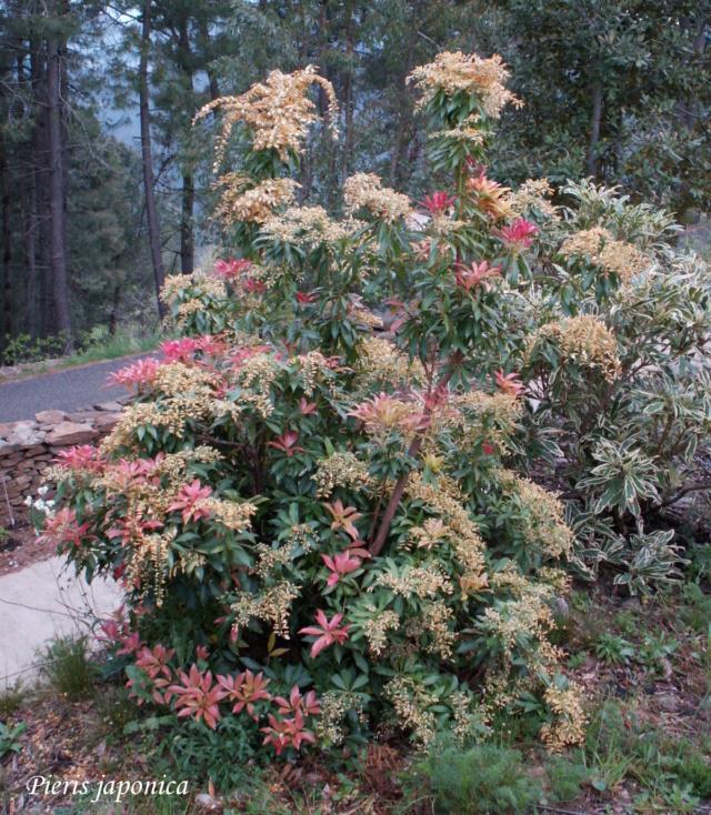 Pieris japonica - andromède du Japon Pict5510