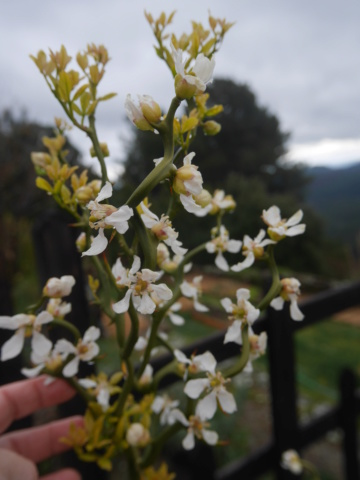 Citrus trifoliata (= Poncirus trifoliata) - Page 2 Poncir11