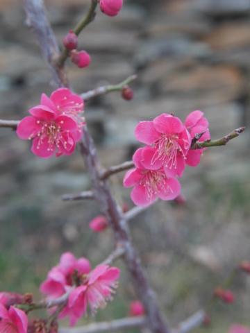 jardins (de) givrés - Page 2 Prunus10