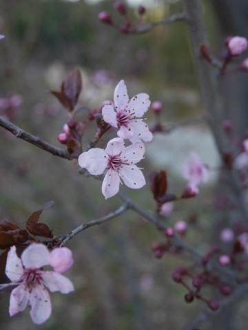 brins de printemps Prunus11