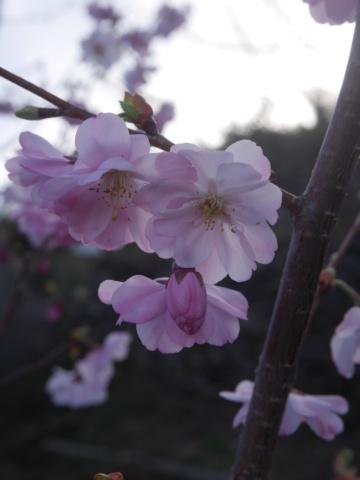 brins de printemps - Page 3 Prunus12