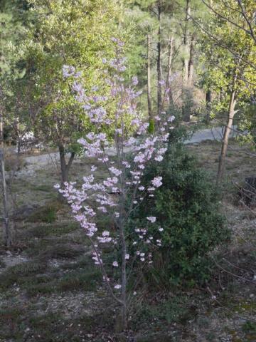 brins de printemps - Page 3 Prunus13