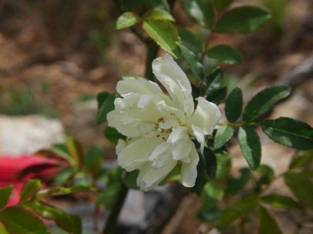 brassées fleuries Rosa_b10