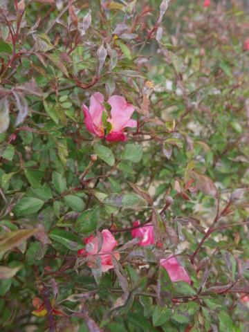 brassées fleuries Rosa_c10