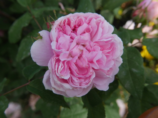 rosier 'Jacques Cartier' Rosa_j10