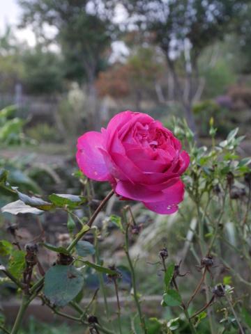Brumes de fleurs - Page 2 Rosa_x11