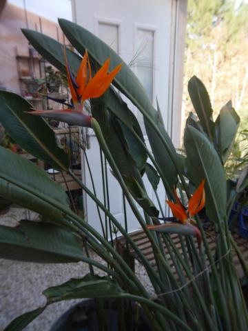 Strelitzia reginae  - Page 2 Streli10