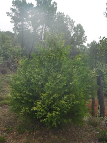 Thuja plicata - thuya géant de Californie Thuya_10