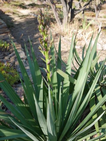 Yucca gloriosa - Page 5 Yucca_10