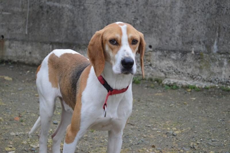 UNO - Mâle - X beagle - 4 ans Dsc_0912