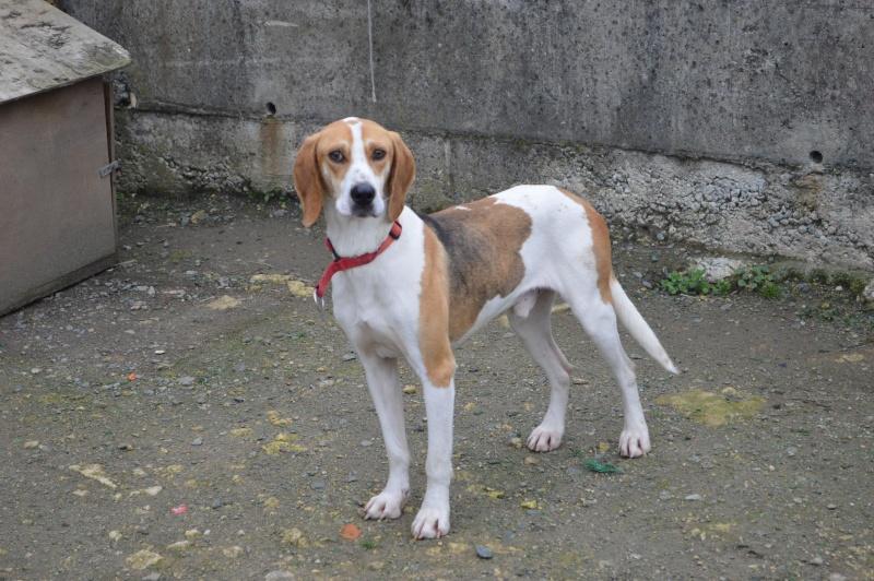UNO - Mâle - X beagle - 4 ans Dsc_0914