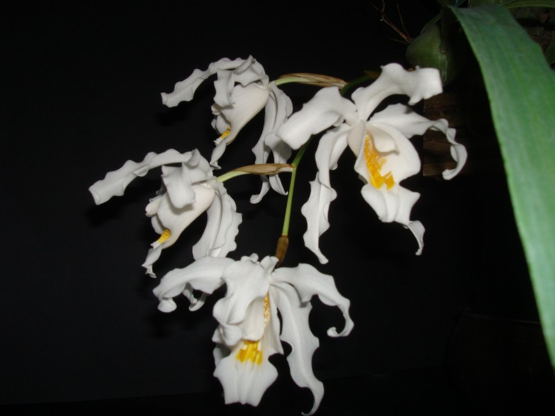 Coelogyne cristata. Crista11