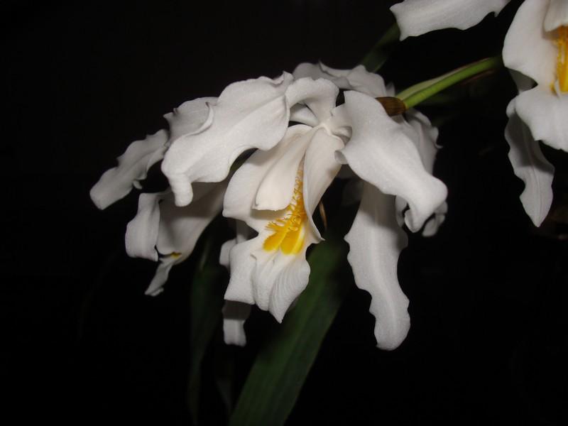 Coelogyne cristata. Crista12