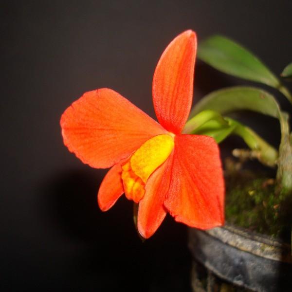 Sophronitis (Cattleya) mantiqueirae. S_mant14