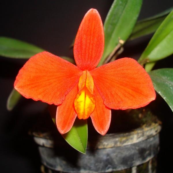 Sophronitis (Cattleya) mantiqueirae. S_mant15