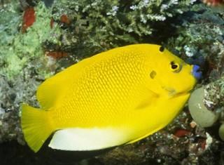 Apolemichthys trimaculatus Gcghj10