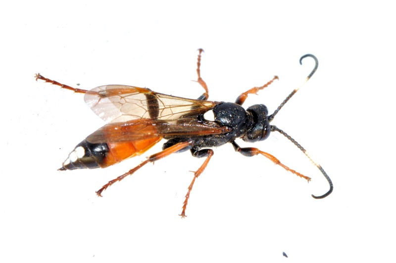 (Hoplocryptus melanocephalus) ??? A_1110