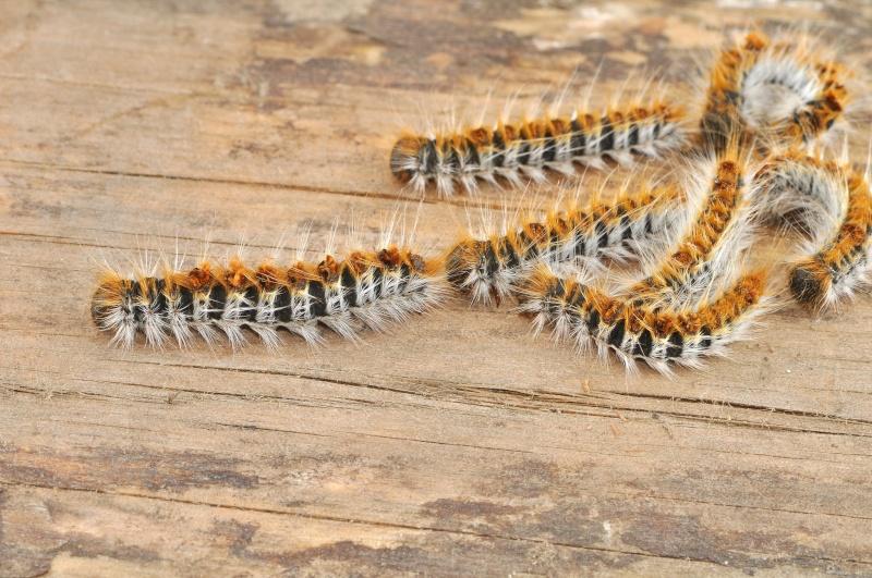 La chenille processionnaire du pin (Thaumetopoea pityocampa) Cc_17910