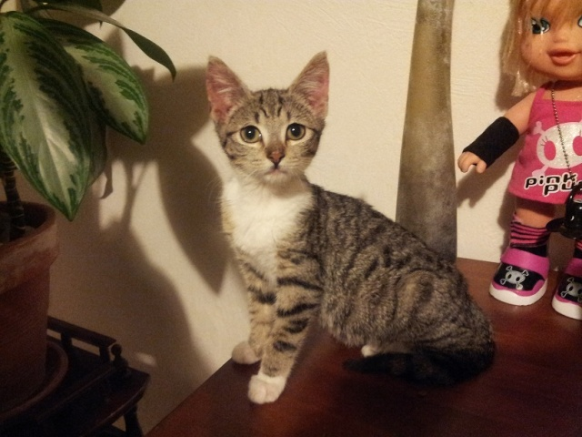 Houpette, née le 1/10/2012, chaton femelle de 3 mois Houpet10
