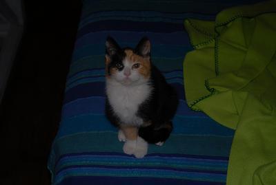 Mia, chaton tricolore de 4 mois, identifié 250268730144079 Mia10