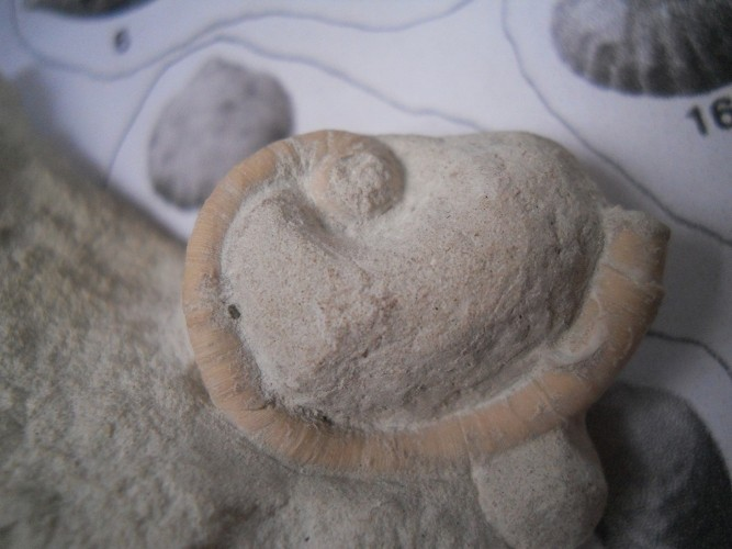 Fossil Worm 01110