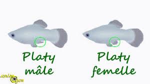 Reproduction de Guppy Platys10