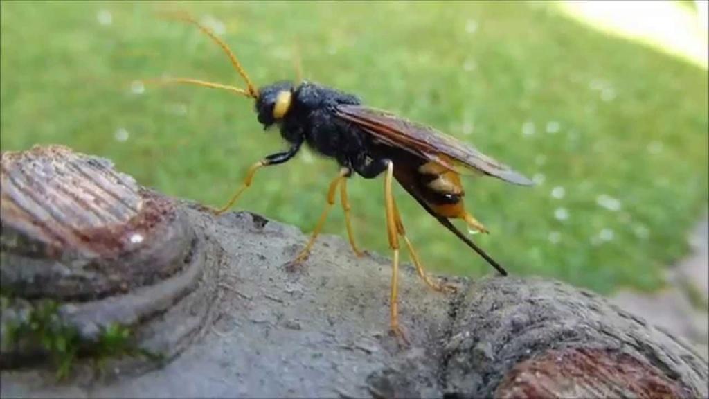Ma passion de l'entomologie. Sirex_10