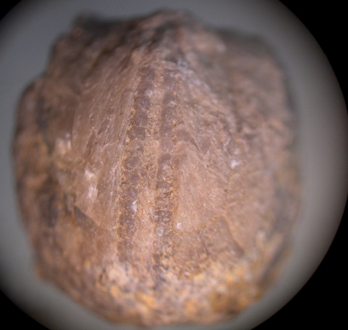 Orbitremites Blastoid Dscn7412