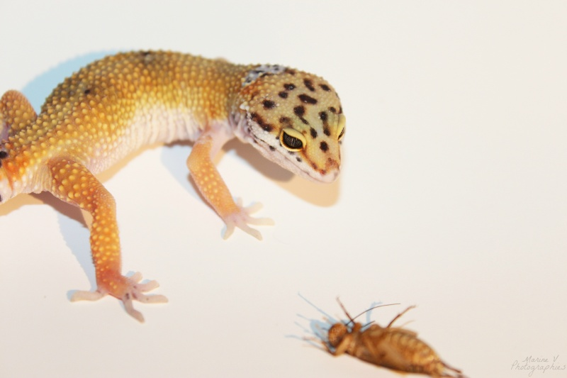 [Geckos Léopard] Krokmou, Mira et Pêche. Img_2017