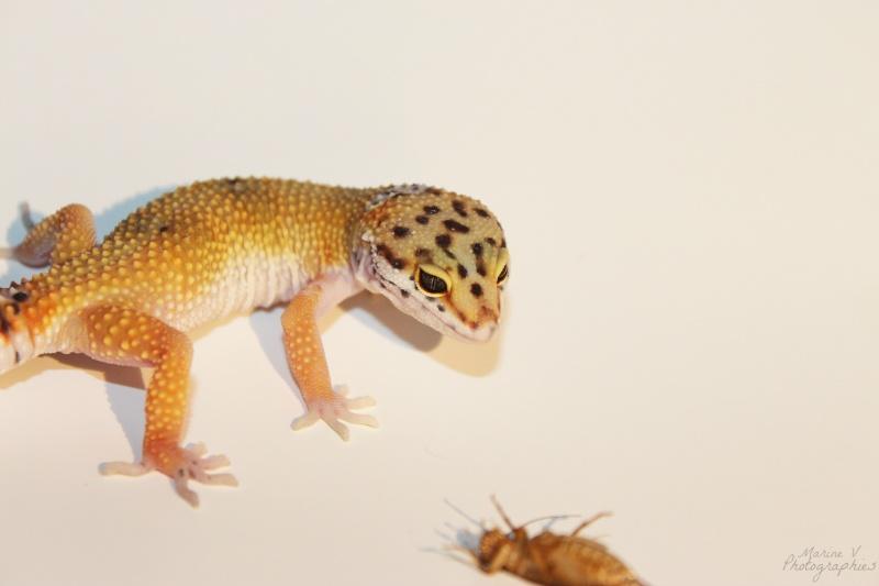 [Geckos Léopard] Krokmou, Mira et Pêche. Img_2018