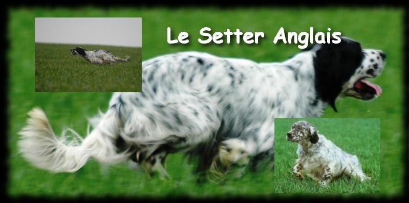 Le Setter Anglais , Fiche chien N°2 Setttt10