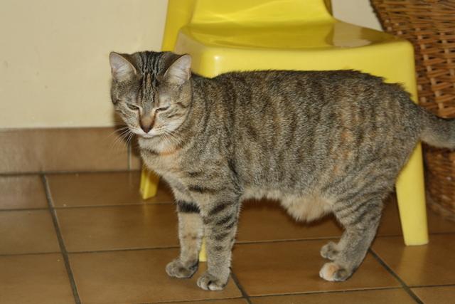 Hestia - tigrée/tabby brun -née 02/2012 Img_7312