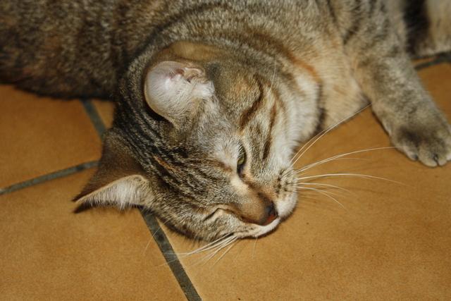 Hestia - tigrée/tabby brun -née 02/2012 Img_7313