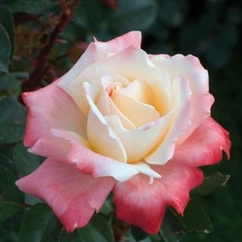 rosae Laéticia Casta 33657110
