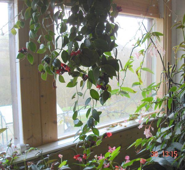 les fleurs d'intérieur pendant l'hiver Aeschy10