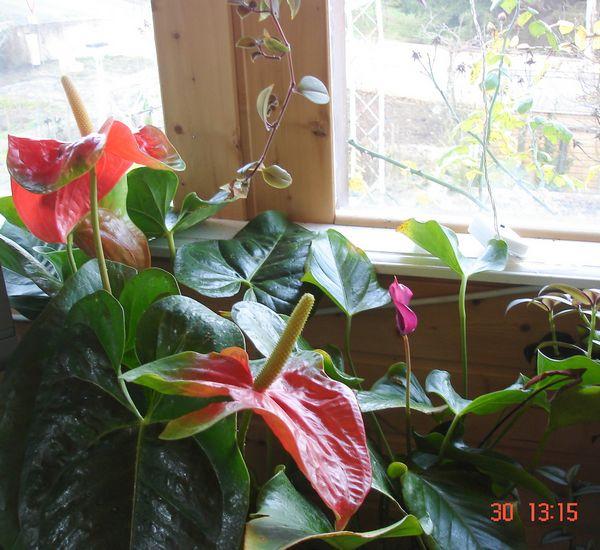 les fleurs d'intérieur pendant l'hiver Anthur10